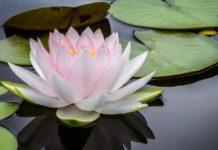 Fiore di Loto: simbologia, significato dei colori e per le religioni