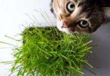 Come coltivare l'erba gatta: come fare, a cosa serve, periodo e cura